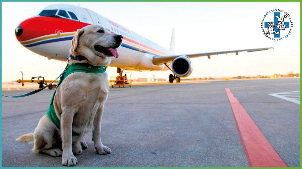Algunas compañías aéreas permiten que los perros viajen
