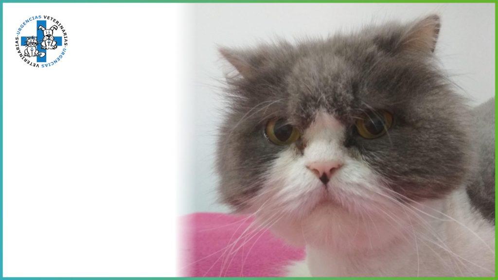 ¿Cómo detectar a tiempo una patología de megacolon en mi gato?
