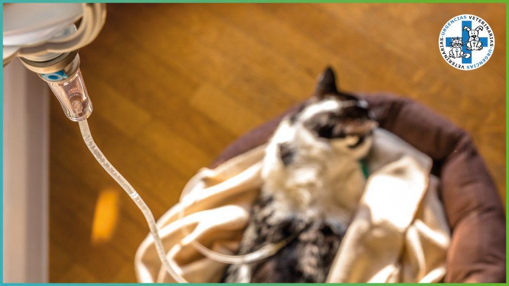 enfermedad renal en gatos